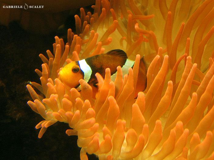 Galleria di foto dell 39 acquario di genova for Pesce pagliaccio foto